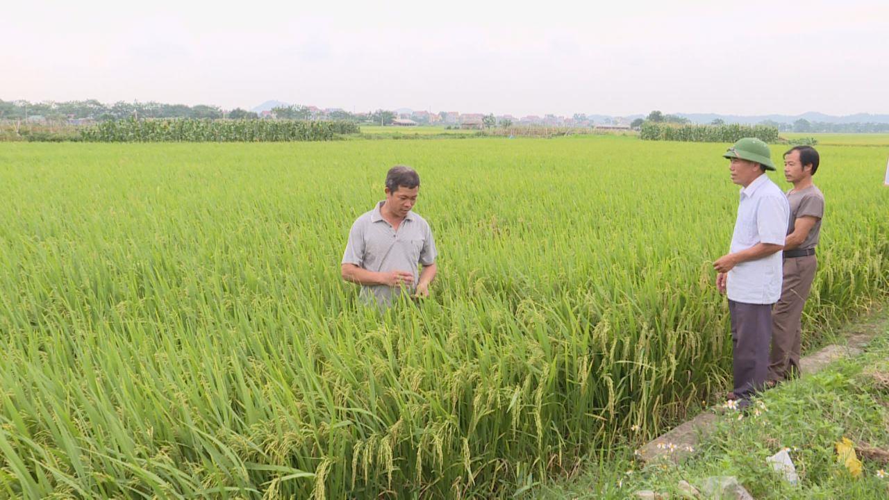 Bắc Ninh: Chủ động phòng, chống bệnh lùn sọc đen phương nam hại lúa mùa