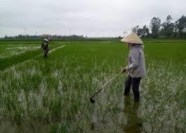 Gần 300 ha lúa xuân trên địa bàn tỉnh bị chuột đồng gây hại