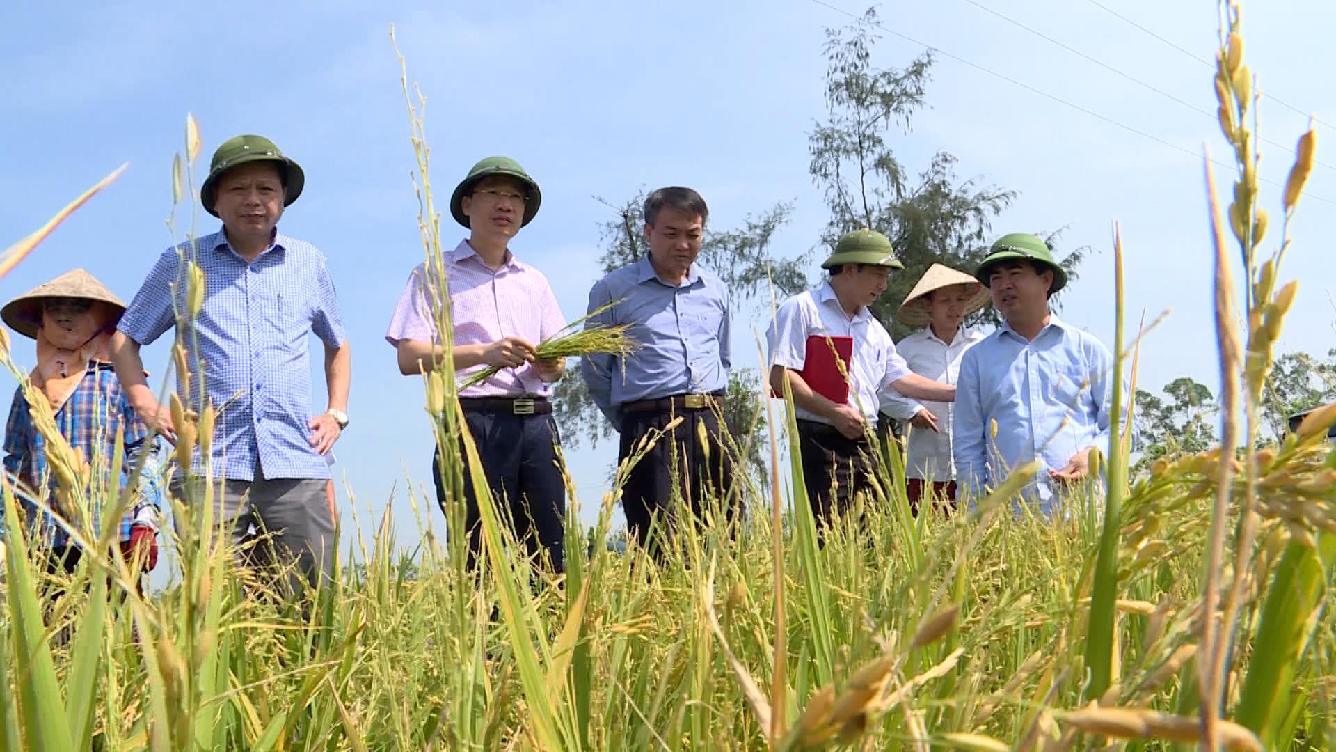 Sở Nông nghiệp và Phát triển nông thôn tỉnh kiểm tra lúa bị ảnh hưởng giông lốc và mưa đá
