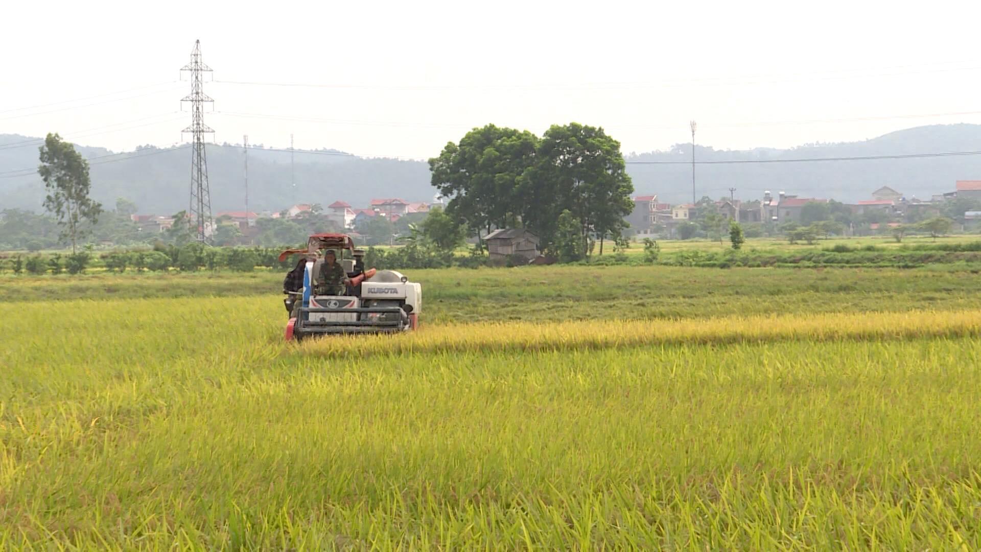 Toàn tỉnh thu hoạch 50% diện tích lúa xuân