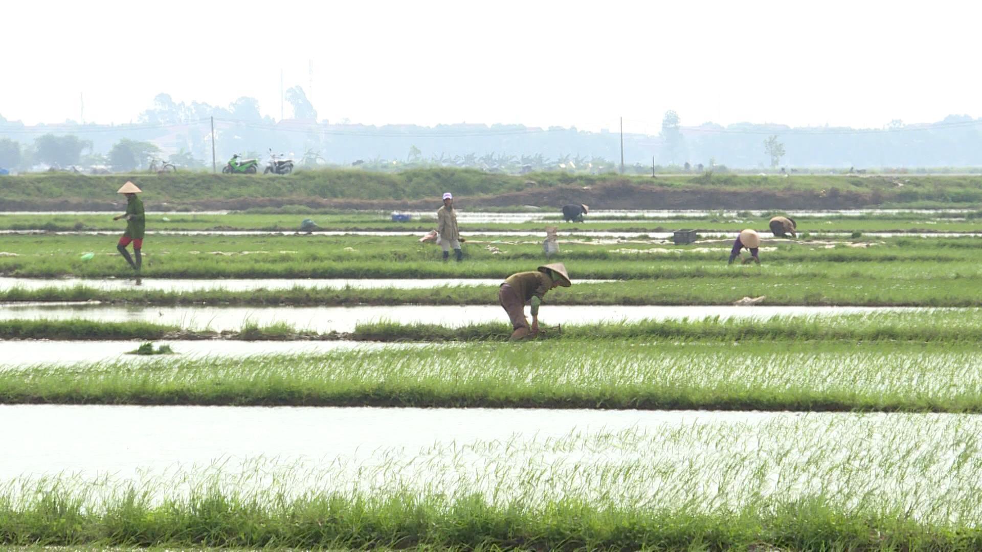 Toàn tỉnh gieo cấy được 7.500 ha lúa mùa