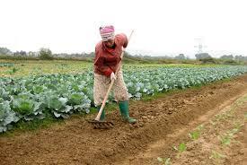 Bắc Ninh gieo trồng hơn 5.800 ha cây vụ đông