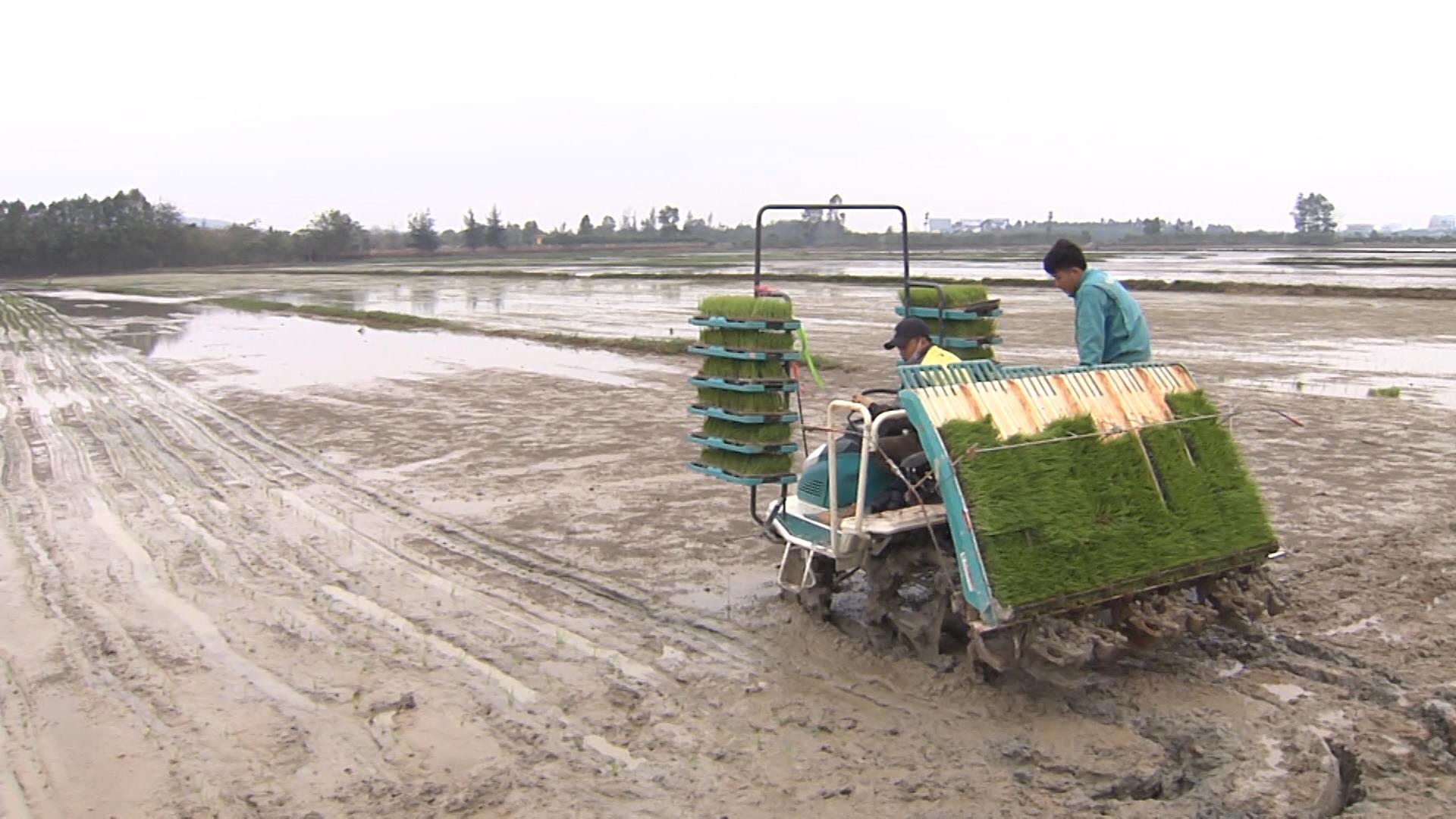 Mở rộng các mô hình trình diễn sản xuất lúa vụ Xuân lên hơn 1.000 ha