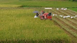 Toàn tỉnh thu hoạch lúa mùa đạt gần 28% diện tích